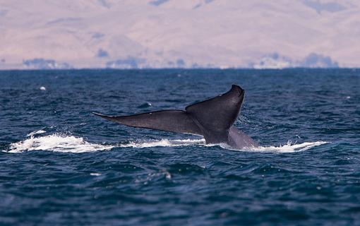 Evento internacional irá debater criação de santuário de baleias do Atlântico Sul